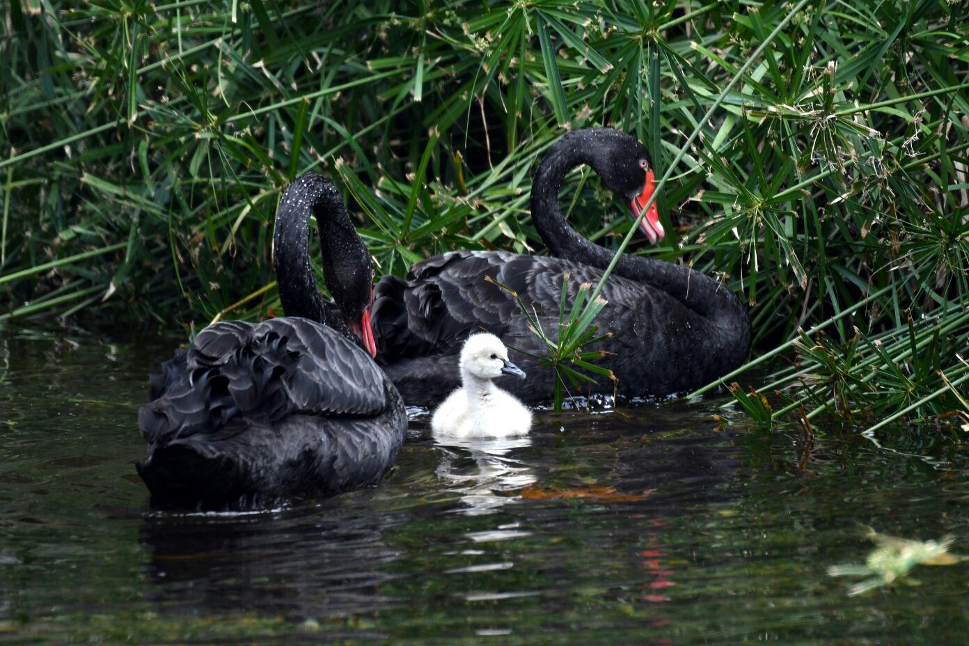 Nace un cisne negro en el Lago Thai de Loro Parque