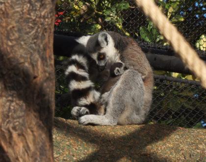 Un rayo de esperanza en Loro Parque: nace una cría de lémur de cola anillada